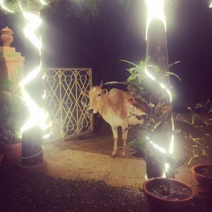 Friendly cow in Auroville